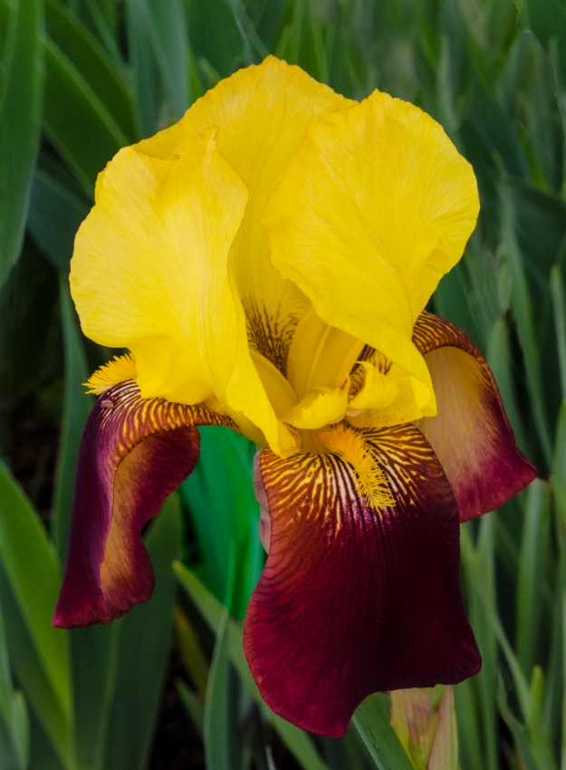 iris yellow burgundy